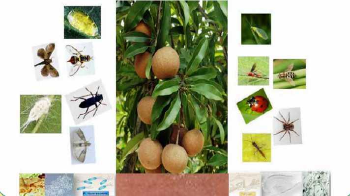 चीकू (SAPOTA) की आधुनिक खेती कैसे