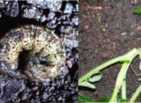 पौधे को काटने वाले कीट से कैसे बचायें