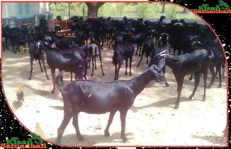 बकरियों के होने वाले रोग उनके लक्षण एवं उपचार