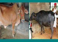 पशुओं में ब्याने के संकेत