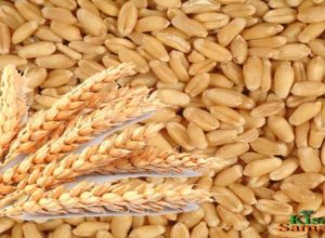 farmers get their money after selling wheat