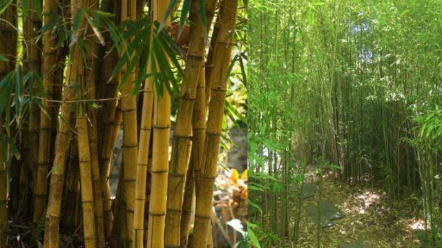 Bamboo Rates