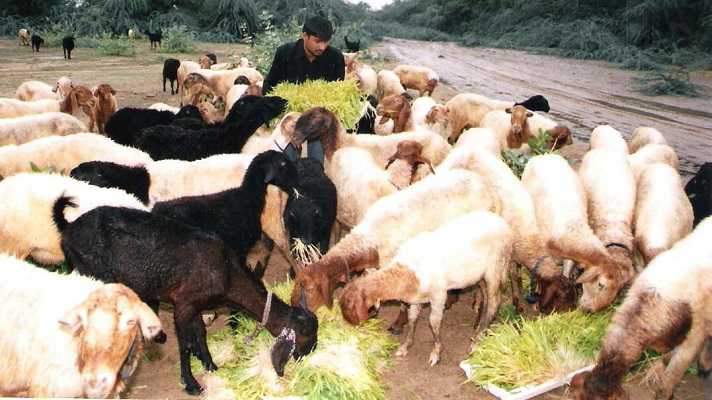 goat feed balanced