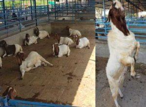 Goat Farming Boer Goat Training