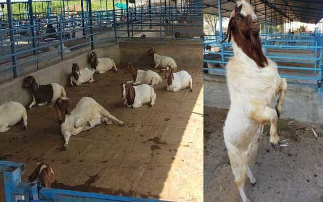 Goat Farming Boer Goat Training