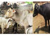 Amber or Belly Disease in cow and Buffalo
