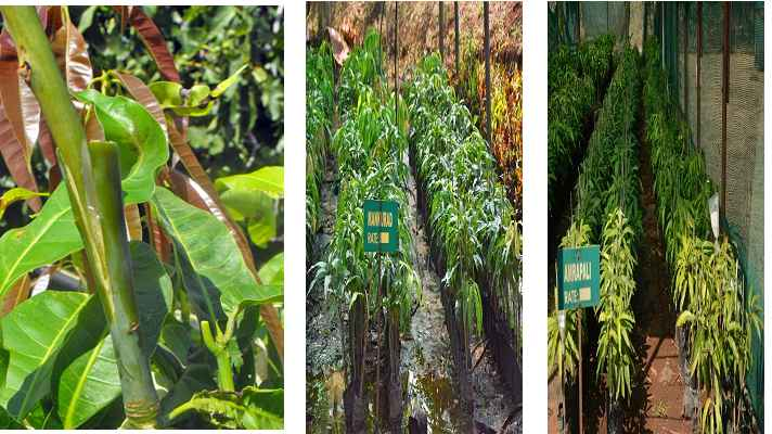 Mango Grafting for Nursery