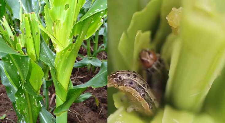 Fall Armyworm Keet attack control dawa