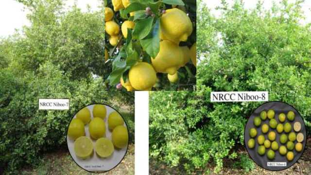 citrus lemon niboo ki kheti hindi me