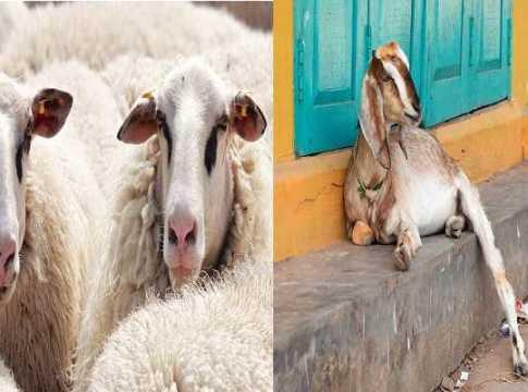 Sheep and goat kaala chera teeka free