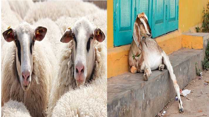 Sheep and goat kaala chera teeka free