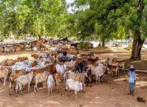 cross breeding scheme haryana