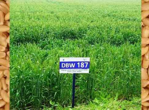Gehun ki nai viksit kism develop variety karan vandana DBW-173