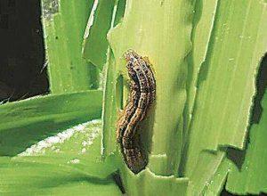 fall army worm keet niyantran dawa subsidy