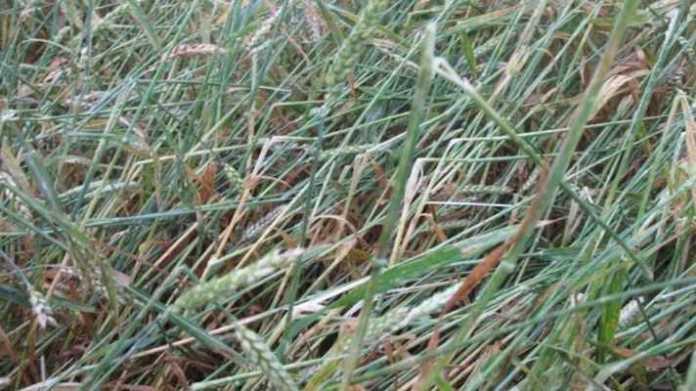 crop damage muawja