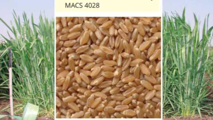 gehun variety macs 4028