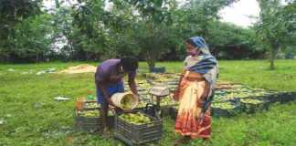 Ginger, turmeric and ol farming on subsidies