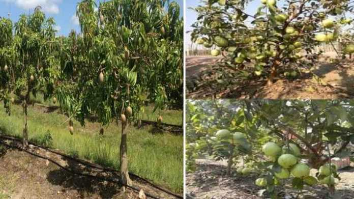 mango and guava farming on subsidy