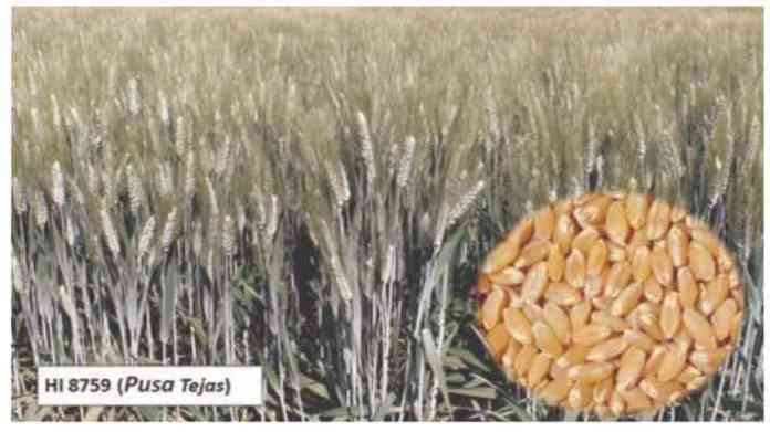 pusa tejas HI 8759 Farming