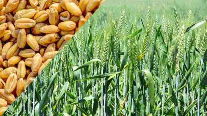 wheat farming and variety for unrrigated land