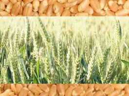 new wheat variety wh 1270