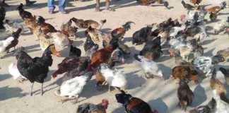 bird flu in india