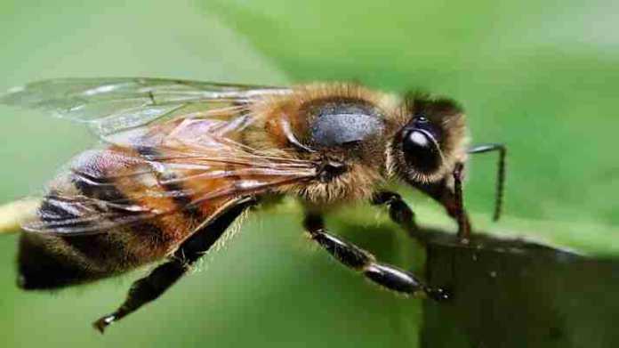 honey bee sting home remedies