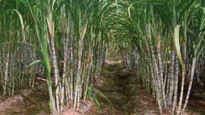 sugarcane crop work