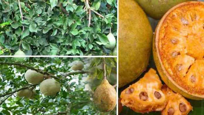 bel fruit fatna or girna