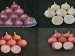 onion variety for kharif & rabi