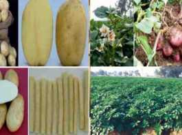 potato variety 2021
