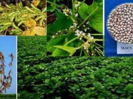 soybean variety MACS 1407
