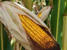 maize crop varieties