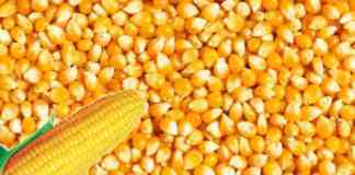 makka maize sell online