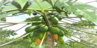 papaya me rog avm roktham