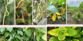 soybean keet rog