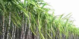 sugarcane frp price 21