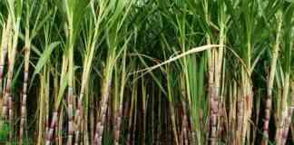 cane price 2021