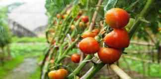 tomato farming and variety