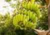 banana farming subsidy