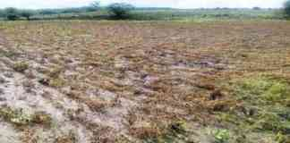 crop damage due to rain