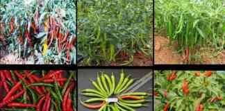 mirchi varieties